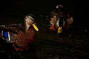 Mallards Photos - Mallard Pair by Karol  Livote