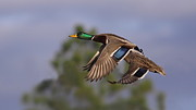 Travis Truelove Photography Prints - Mallard Perfection Print by Travis Truelove