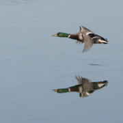 Photography Birds - Mallard Reflection by Steven Natanson