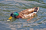 Mallard With Cracker Print by Susan Leggett