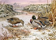 Bank Painting Posters - Mallards in a Quiet Corner Poster by Carl Donner