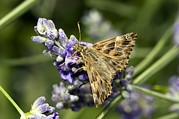 Mallow Prints - Mallow Skipper Butterfly Print by Paul Harcourt Davies