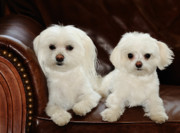 Maltese Dogs Photos - Maltese - Spa Day by Mike Hendren