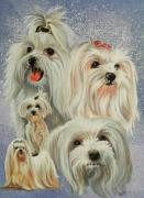 Toy Maltese Framed Prints - Maltese Collage Framed Print by Barbara Keith