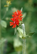 Maltese Cross Posters - Maltese Cross (lychnis Chalcedonica) Poster by Vaughan Fleming