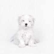 Maltese Dog Puppy Print by Waldek Dabrowski