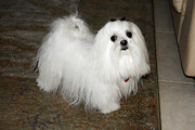 Maltese Dog Photos - Maltese dog by Sally Weigand