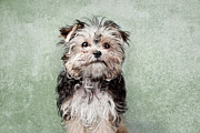 Colored Background Prints - Maltese Mix On  Green Background Print by Chad Latta
