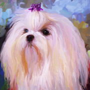 White Maltese Framed Prints - Maltese Portrait - Square Framed Print by Jai Johnson