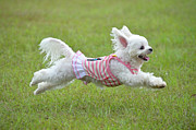 Maltese Dog Photos - Maltese Running by Boti