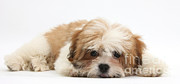 White Maltese Photos - Maltese Shih-tzu Mix Puppy Lying Down by Mark Taylor