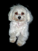 Toy Maltese Prints - Maltese Terrier Puppy Print by Kenneth William Caleno