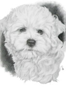 Designer Dogs - MaltiChon by Barbara Keith