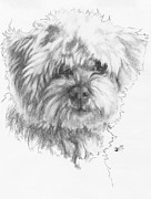 Cute Dogs Drawings Framed Prints - Maltipoo Framed Print by Barbara Keith