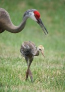 Sandhill Framed Prints - Mama and Juvenile Sandhill Crane Framed Print by Carol Groenen