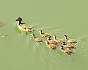 Mama Duck And Ducklings Print by James Granberry