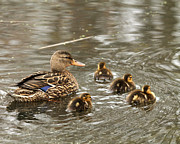 Baby Mallards Posters - Mama Mallard With Babies Poster by Deborah  Smith