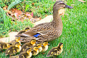 Ducklings Framed Prints - Mamas Babies Framed Print by Barbara Dean