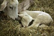 Sleeping Baby Animals Posters - Mamas Lil Lamb Poster by Linda Mishler