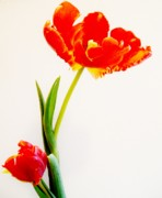 Big Tulip Prints - Mamma and Baby Tulips Print by Marsha Heiken