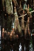 Cypress Knees Photos - Man of the Swamp by Joseph G Holland