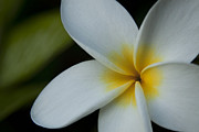 Hawaiiana Posters - Mana i ka Lani - Tropical Plumeria Hawaii Poster by Sharon Mau