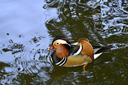 Mandarin Duck 04 Print by Arik Baltinester