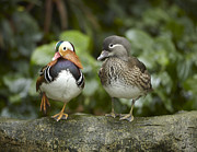 Duck Couple Posters - Mandarin Duck Male And Female Jurong Poster by Tim Fitzharris
