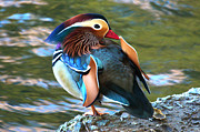 Paul Marto - Mandarin Duck