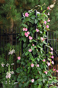 Foxglove Flowers Photos - Mandevilla Vine With Pink Flowers by Darlyne A. Murawski