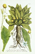 Anthropomorphism Photo Prints - Mandrake Plant, Historical Artwork Print by 
