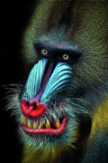Primate Photo Prints - Mandrill Print by Animus Photography