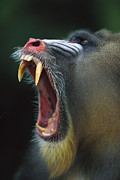 Angry Face Prints - Mandrill Mandrillus Sphinx Adult Male Print by Cyril Ruoso