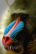 Mandrill Prints - Mandrill Print by Richard Henne