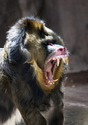 Wide Open Mouth Framed Prints - Mandrill Yawning Framed Print by Darcy Michaelchuk