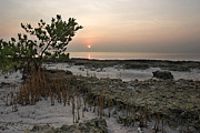 Fossilized Art - Mangrove at Low Tide by Matt Tilghman