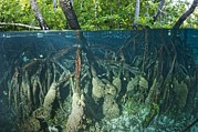 Indonesian Wildlife Posters - Mangrove Swamp Poster by Georgette Douwma