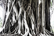 Tree Roots Art - Mangrove Tentacles  by Douglas Barnard