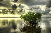 Mangroves I Print by Bruce Bain