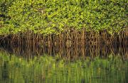 Mangroves Prints - Mangroves Reflected In The Water At Print by Axiom Photographic