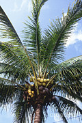 Coconut Trees Posters - Manila Dwarf Coconut Palm Poster by Science Source