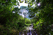 Manoa Falls Prints - Manoa Rainforest Skylight Print by Kevin Smith