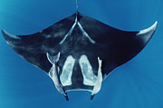 Ray-finned Fish Framed Prints - Manta Ray With Remoras Hallcion Reef Framed Print by Flip Nicklin