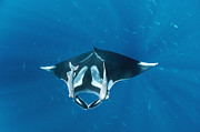 Mar2713 Art - Manta Ray With Remoras Over Hallcion by Flip Nicklin