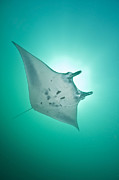 Below Framed Prints - Manta Ray With White Belly, Komodo Framed Print by Mathieu Meur