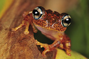 Madagascar National Park Prints - Mantellid Frog Boophis Tephraeomystax Print by Thomas Marent