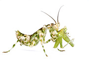 Featured Acrylic Prints - Mantid Feeding Silaka Nature Reserve Acrylic Print by Piotr Naskrecki