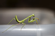 Praying Photo Originals - Mantis 4 by Jessica Velasco