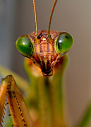 Mantis Prints - Mantis Eyes Print by William Jobes