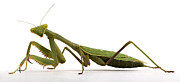 Creepy Photo Metal Prints - Mantis Metal Print by Jim Speth